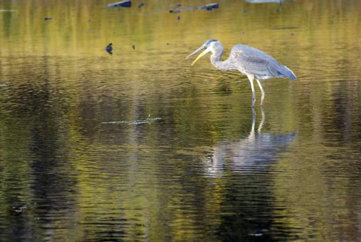 Crane In Shallow Waters - Free Stock Photo