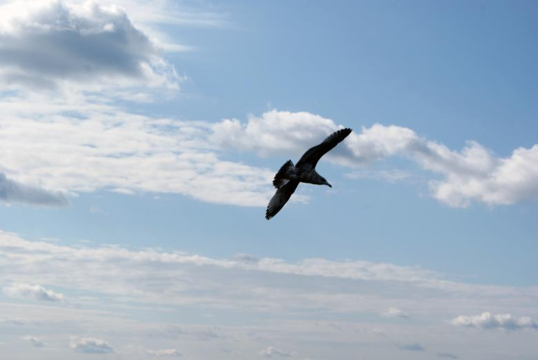 Free Stock Photo of Seagull In Flight 2 Created by Brian Norcross