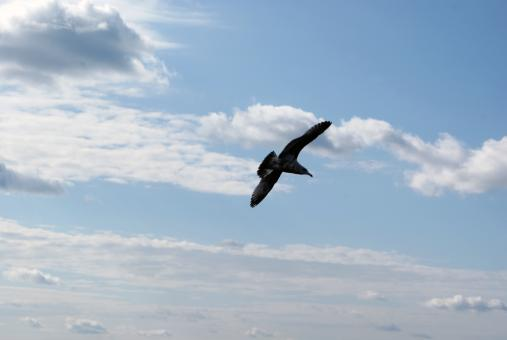 Seagull In Flight 2 - Free Stock Photo