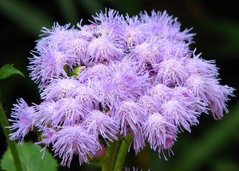 Purple Fuzzy Flowers - Free Stock Photo