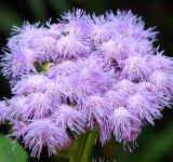 Free Photo - Purple Fuzzy Flowers
