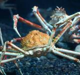 Free Photo - Fighting crabs