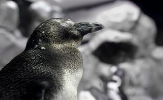 Download Penguin Free Photo