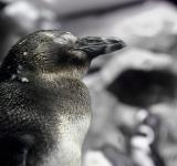 Free Photo - Penguin
