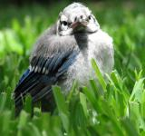 Free Photo - Baby Blue Jay