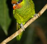 Free Photo - Lorikeet