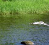 Free Photo - Seagull In Flight