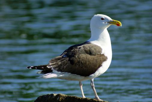 Seagull - Free Stock Photo