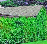 Free Photo - Ivy Wall