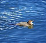 Free Photo - Loon Swimming