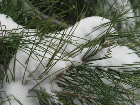Snow Covered Pine - Free Stock Photo