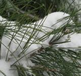 Free Photo - Snow Covered Pine