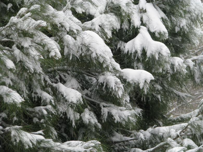 Free Stock Photo of Snow Covered Tree Created by Richard Arreguin