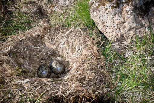 Nest with eggs - Free Stock Photo
