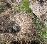 Free Photo - Nest with eggs