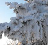 Free Photo - Frosted Tree