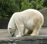 Free Photo - Polar Bear