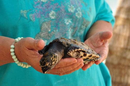 Sea turtle - Free Stock Photo