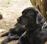 Free Photo - Spike the black lab