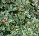 Free Photo - Bush with red berries
