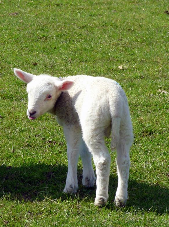 Free Stock Photo of Small Lamb Created by Kate Towers