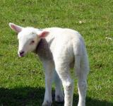 Free Photo - Small Lamb