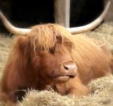 Free Photo - Highland Cow