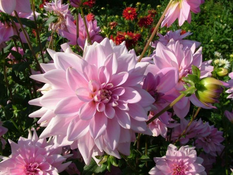 Free Stock Photo of Dahlia flowers Created by Alishba Farooqui