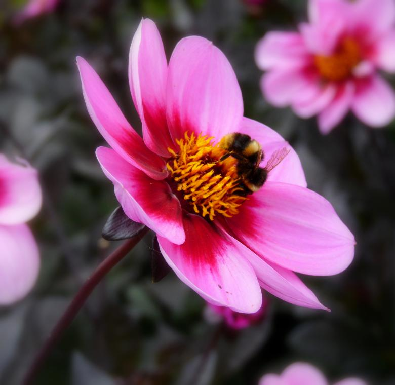 Free Stock Photo of Bee On Flower  Created by Kate Towers