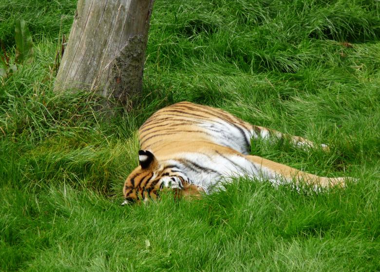Free Stock Photo of Tiger  Created by Kate Towers