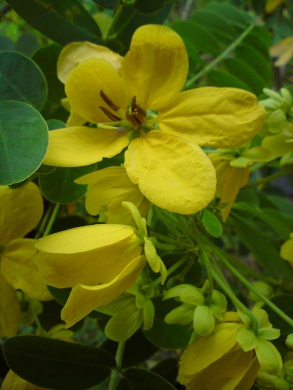 Free Stock Photo of Kantil yellow flowers Created by sutrisno