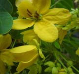 Free Photo - Kantil yellow flowers