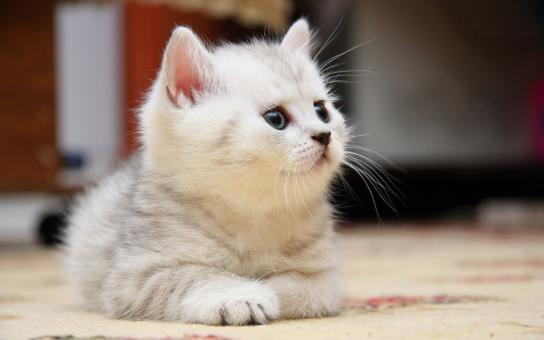 White Kitten - Free Stock Photo