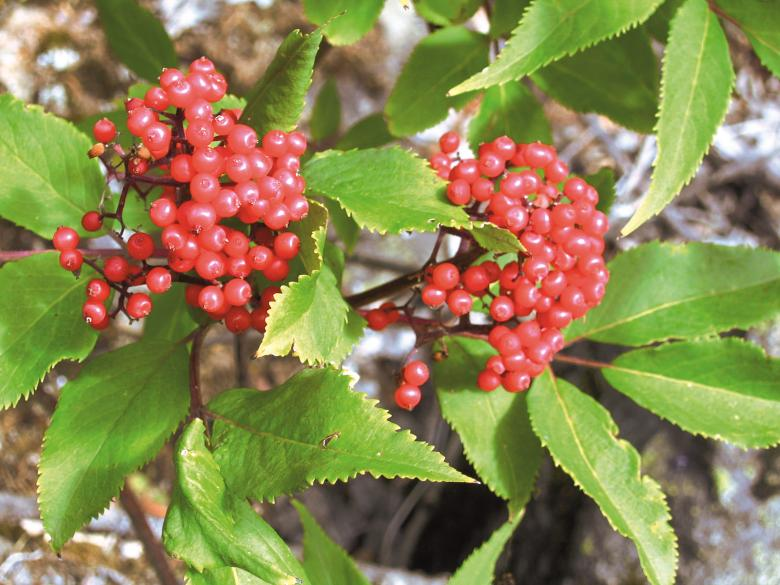 Red Berries Free Photo