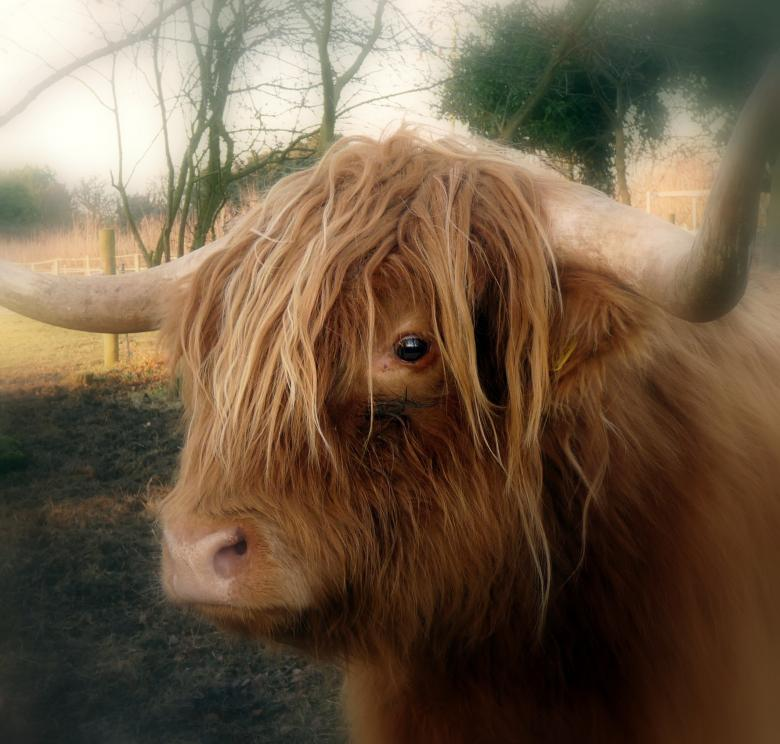 Free Stock Photo of Highland Cow  Created by Kate Towers