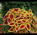 Free Photo - Yellow and red leaves