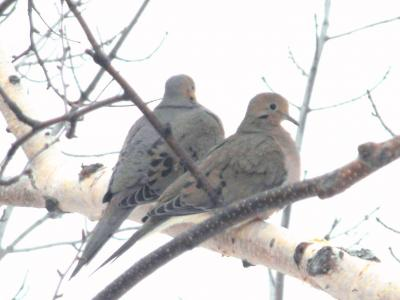 Turtledove birds couple - Free Stock Photo