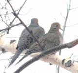 Free Photo - Turtledove birds couple