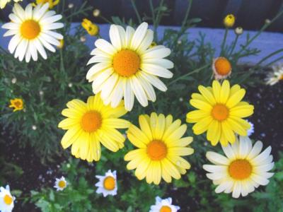 Marguerita flowers - Free Stock Photo
