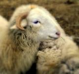 Free Photo - Sheep