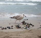Free Photo - European Herring Gull