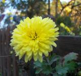 Free Photo - Yellow Flower