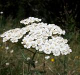 Free Photo - Yarrow Herb
