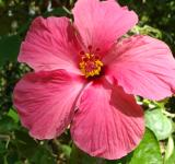 Free Photo - Red Hibiscus