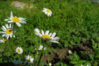 Camomile's Free Photo