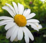 Free Photo - Camomile