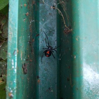 Black Widow Spider - Free Stock Photo