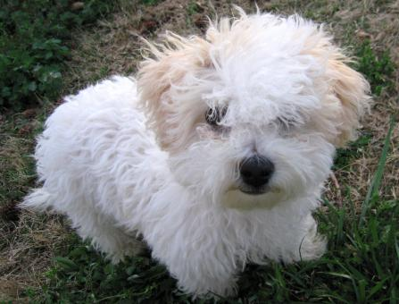 Bichon Frise Puppy - Free Stock Photo