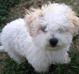 Free Photo - Bichon Frise Puppy