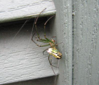 Spider on Siding - Free Stock Photo